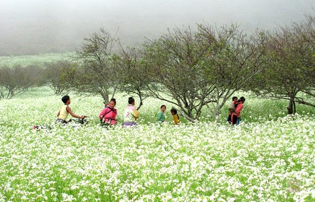 Cánh đồng cải trắng của mùa thu Sapa